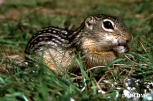 """""""Introducing, the Thirteen-Lined Ground Squirrel (in case you didn't know..)!"""""""