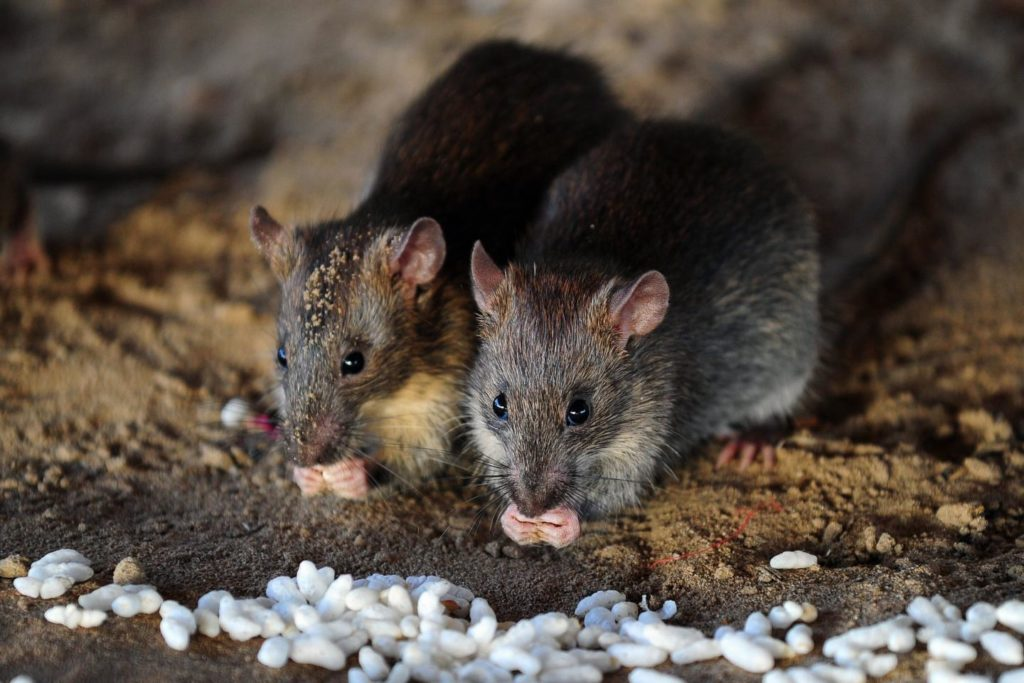 DANGEROUS DISEASES: RAT PARASITE COLONIZING FLORIDA IS ALARMING RESEARCHERS
