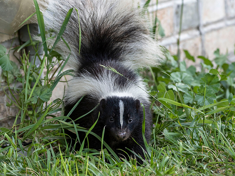 Young,Striped,Skunk,(mephitis,Mephitis),Near,The,Human,Dwelling